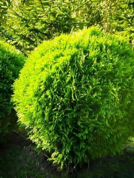 Danica Globe Thuja Arborvitae