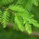 Dawn Redwood Tree Leaves