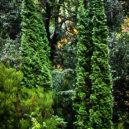 degroots-spire-thuja-3