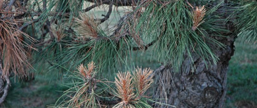 Diseases of Pine Trees