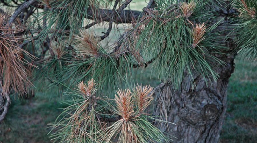 Diseases of Pine Trees