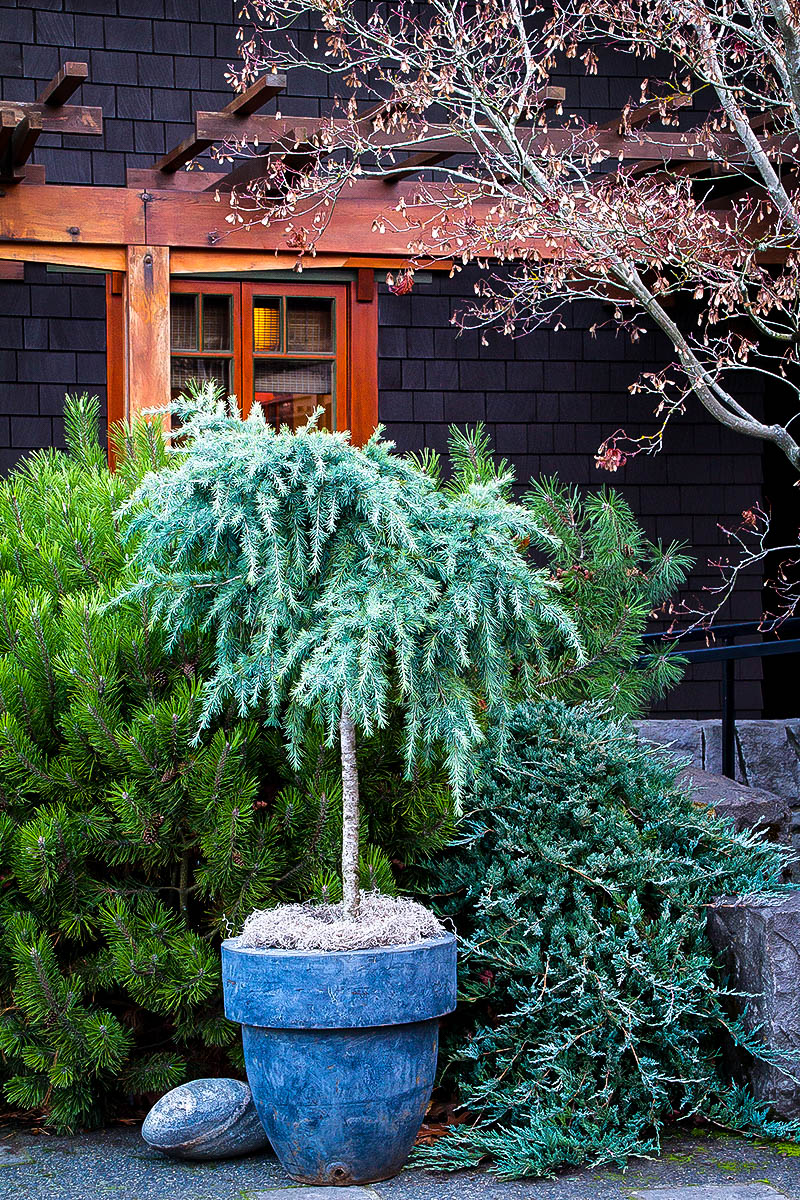 Divinely Blue Deodar Cedar Tree For Sale Online The Tree Center