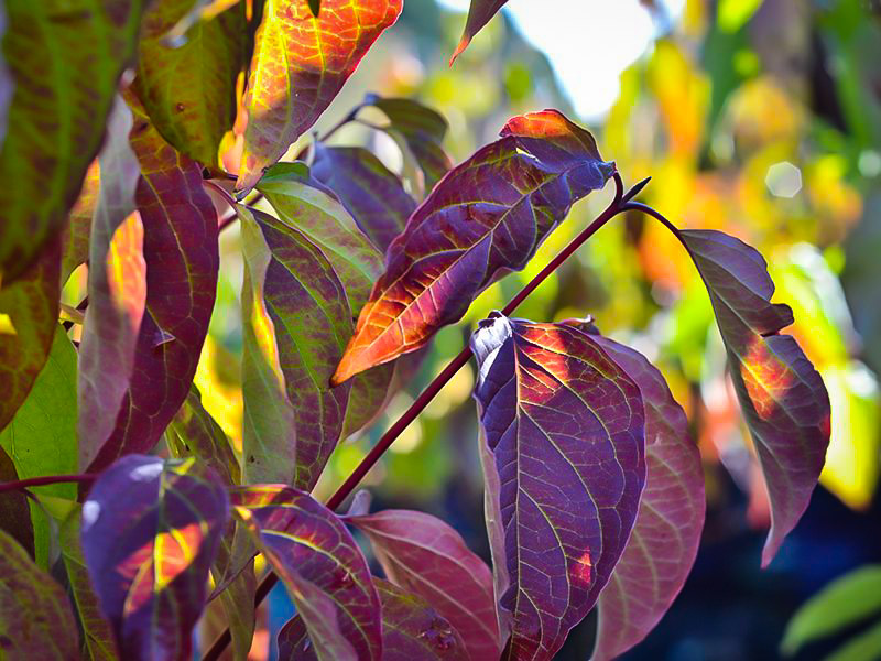 Cayenne Silky Dogwood Shrubs For Sale The Tree Center