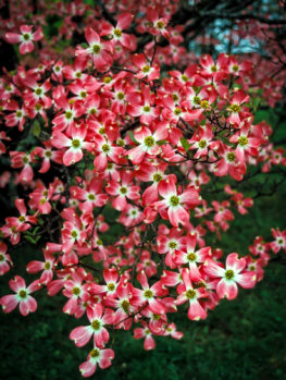 Cherokee Chief Dogwood Tree