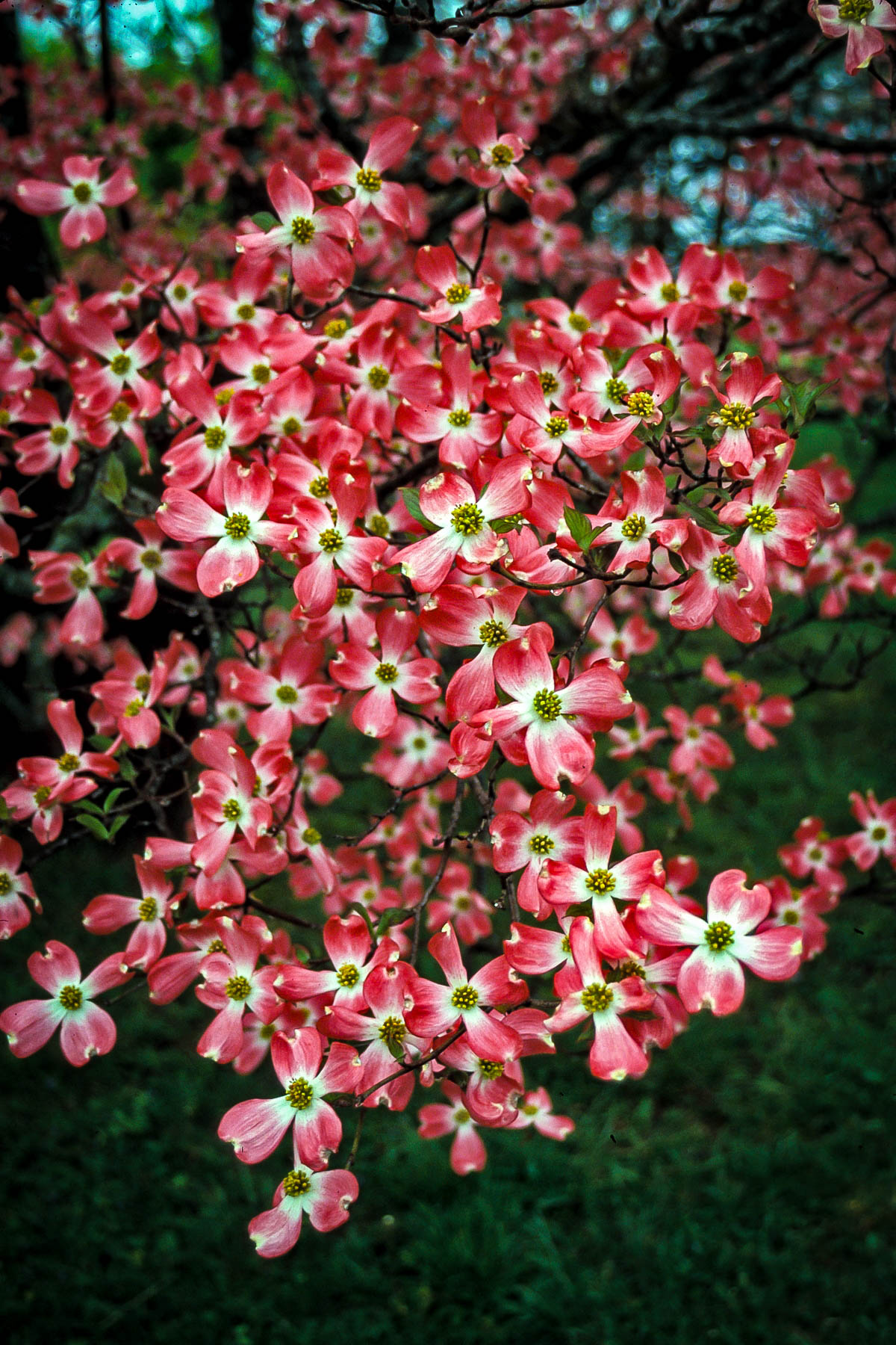 Cherokee Chief Dogwood Trees For Sale The Tree Center