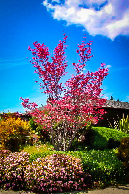 Cherokee Chief Dogwood Trees For Sale | The Tree Center™