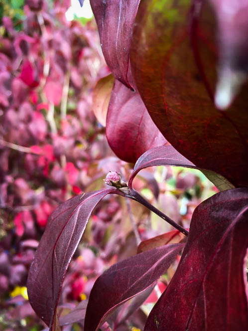 Little Ruby™ Dogwood Trees For Sale | The Tree Center™
