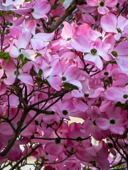 Stellar Pink Dogwood Tree
