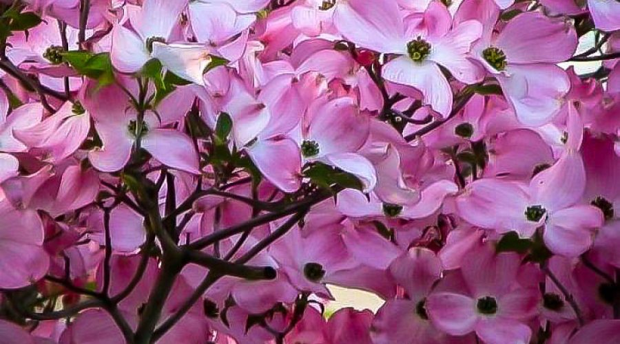 The Eternal Charm of the Flowering Dogwood Tree