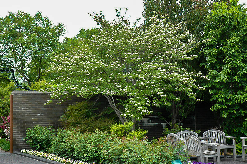 stellar pink dogwood trees for sale online the tree center�