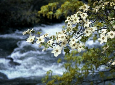 The Best Places to Plant the Dogwood