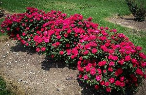 Double Knockout Rose Shrubs