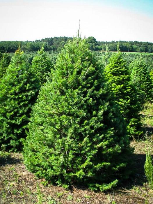 Canadian Hemlock The Tree Center