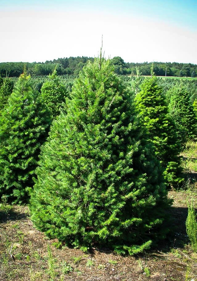 Douglas Fir Trees For Sale Online The Tree Center