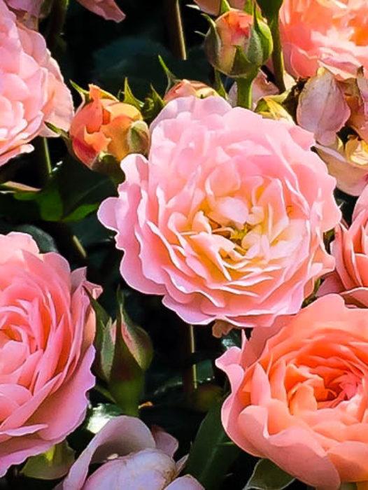 Drift® Roses