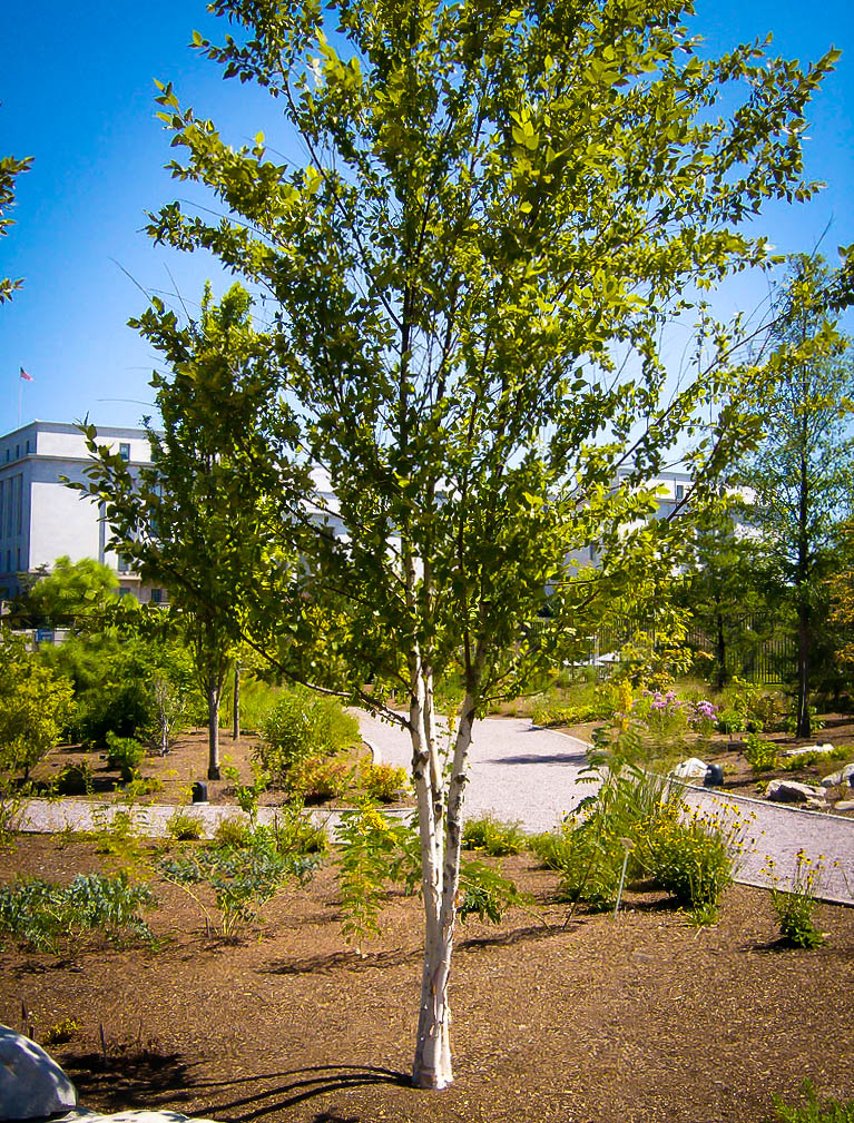Dura Heat 174 River Birch Trees For Sale The Tree Center