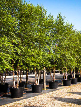 Dura Heat® River Birch
