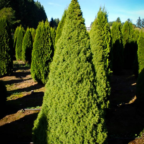 Dwarf alberta spruce for sale online the tree center for Soil zones of alberta