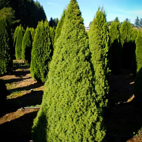Dwarf Alberta Spruce The Tree Center
