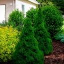 Dwarf Alberta Spruce Trees