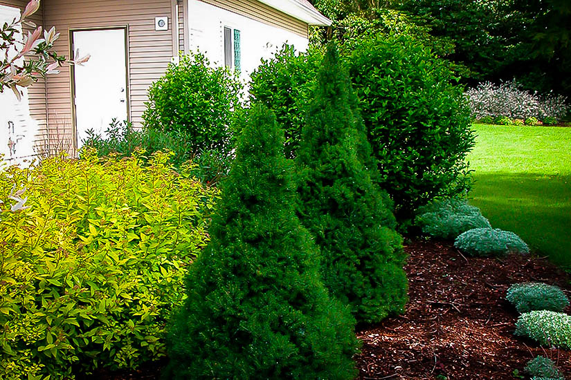 dwarf alberta spruce for sale online  the tree center, Natural flower