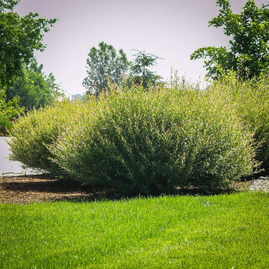 Dwarf Arctic Willow Shrubs For Sale The Tree Center