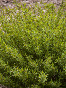 Dwarf Arctic Willow