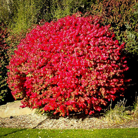 Dwarf Compact Burning Bush For Sale The Tree Center