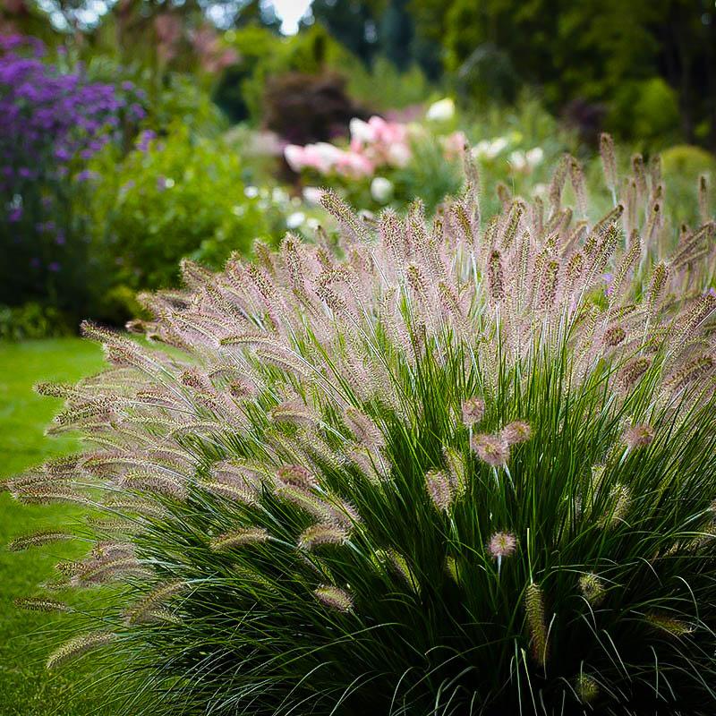 Dwarf Hameln Fountain Grass For Sale Online | The Tree Center™
