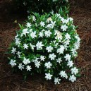 dwarf-radicans-gardenia-2