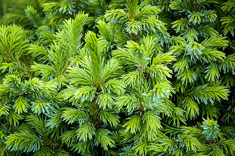 Dwarf Serbian Spruce Trees For Sale Online | The Tree Center™