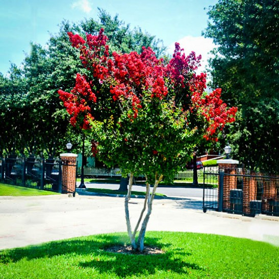 Dynamite Crape Myrtle For Sale Online The Tree Center