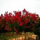 Dynamite Crape Myrtle Tree Farm