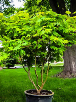 Japanese Maple Trees Buy Japanese Maple Trees The Tree Center