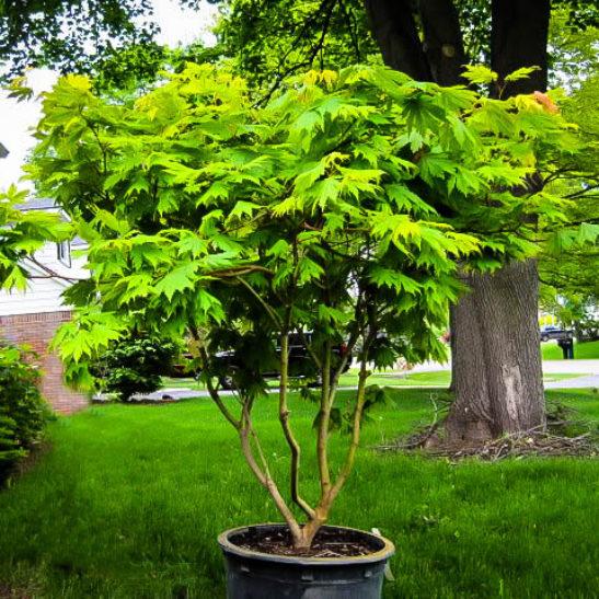 Ed Wood Full Moon Japanese Maple Trees For Sale The Tree