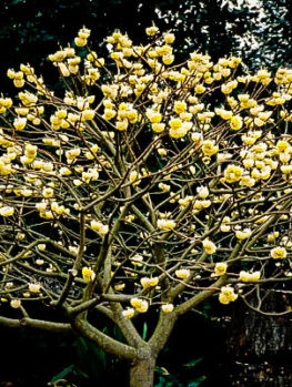 Edgeworthia Paperbush