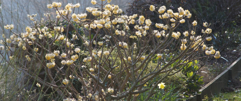 5 Amazing Shrubs That Flower in Winter
