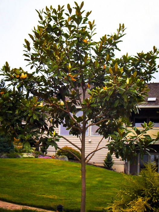 Buy Magnolia Trees Online The Tree Center