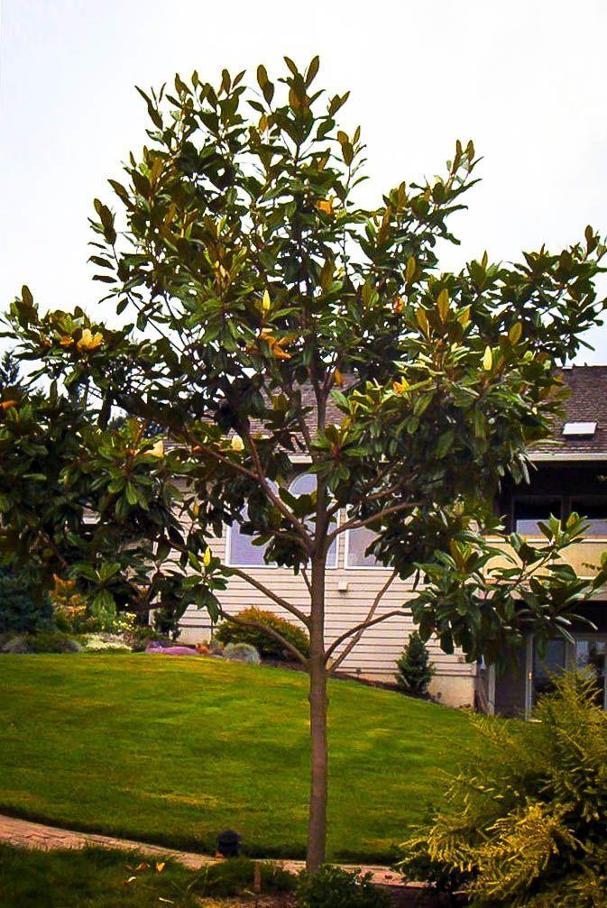 Southern magnolia edith bogue the tree center for Magnolia tree