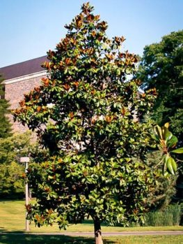 Edith Bogue Southern Magnolia