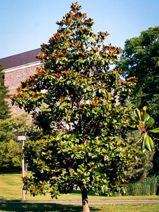 magnolia tree and how to look after it