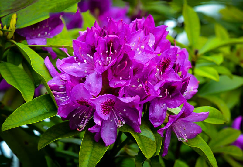 Purple Rhododendron Edith Bosley The Tree Center