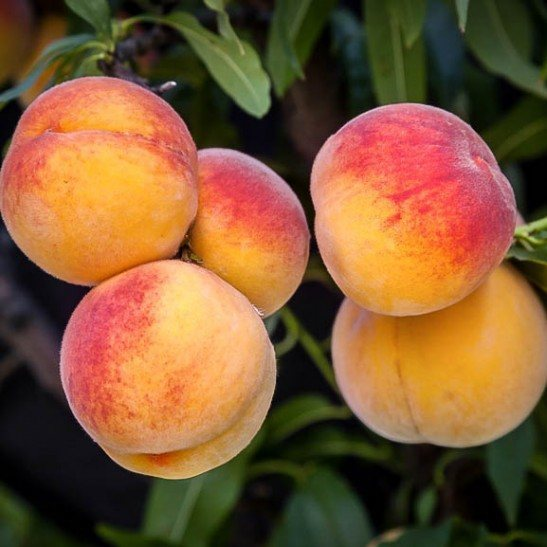 Elberta Peach Tree For Sale Online The Tree Center