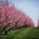 elberta-peach-2