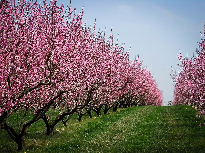 Elberta Peach Tree The Tree Center