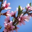 elberta-peach-3