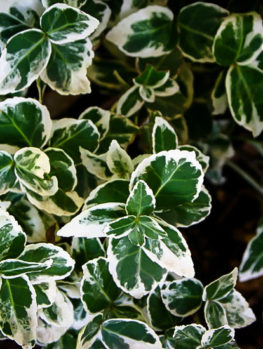 Emerald Gaiety Wintercreeper