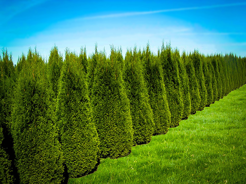 emerald green arborvitae for sale the tree center