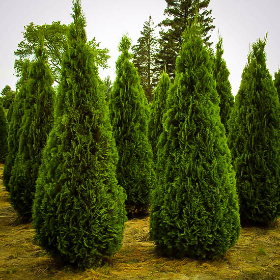emerald green arborvitae buy emerald thuja online the tree center. Black Bedroom Furniture Sets. Home Design Ideas