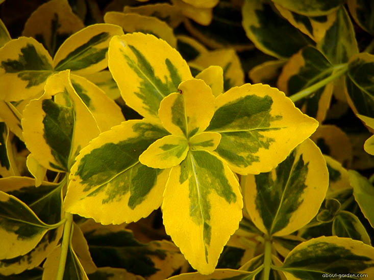 Emerald N Gold Euonymus Wintercreeper The Tree Center